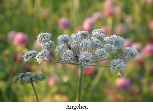angelica-400956__340