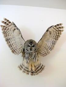 Cheri Guinn - Barred Owl