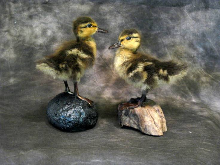 Cheri Guinn - Mallard Ducklings