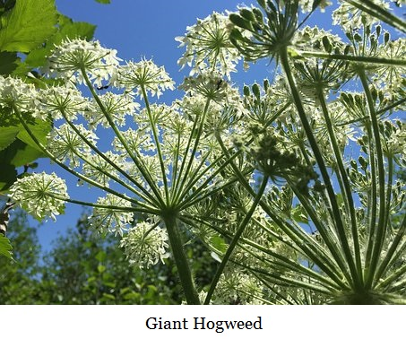 cow-parsnip-flowers-1764033__340 - Copy