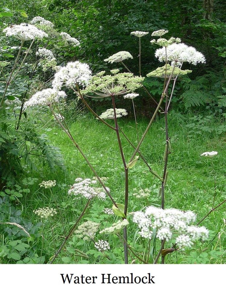 Hemlock_Water_Dropwort._Oenathe_crocata._Umbelliferae_-_Flickr_-_gailhampshire
