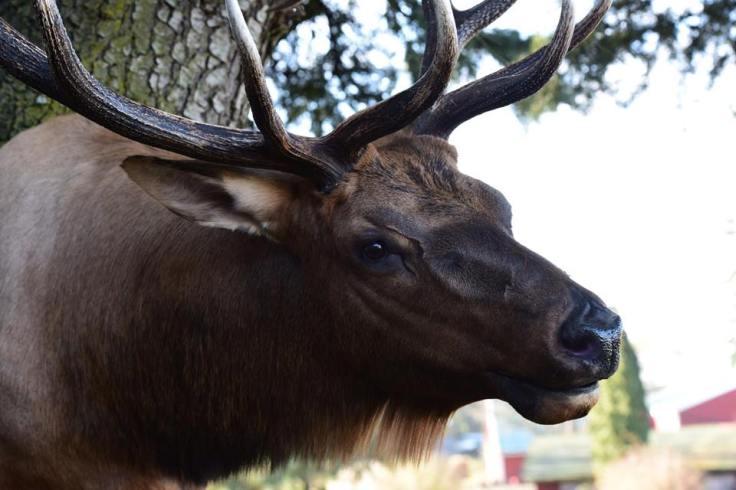 Kiernan - Elk