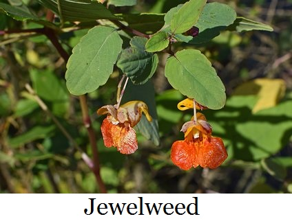 orange-jewelweed-2827104__340