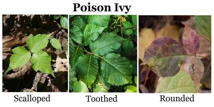 Poison_Ivy_(6074193937)