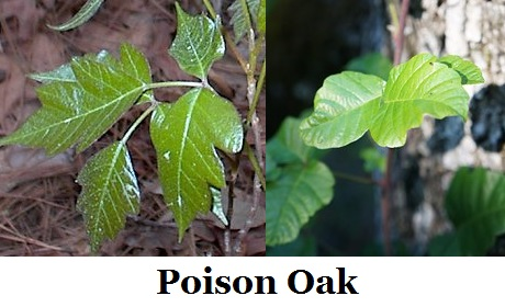 Poisonoak