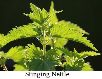 stinging-nettle-3474401__340