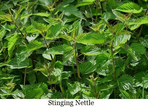 stinging-nettle-785292__340