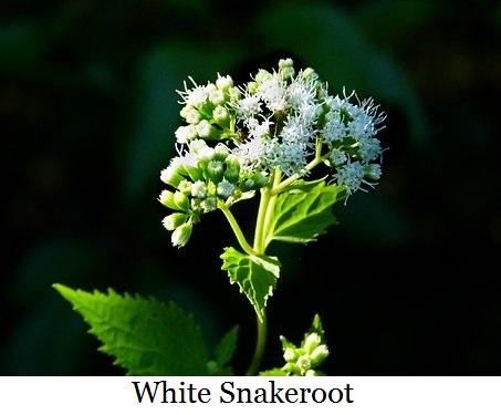 white-snakeroot-2682051__340