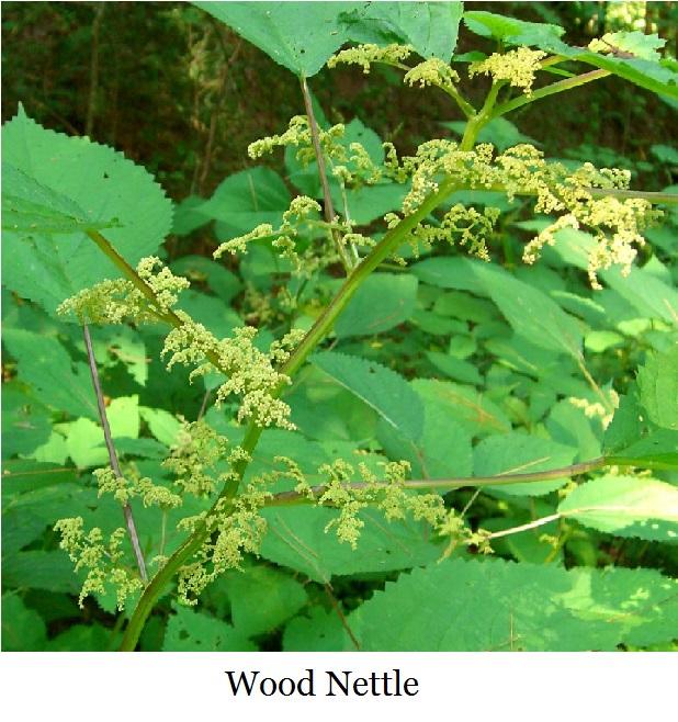 Wood_Nettle_(1026204623) (1)