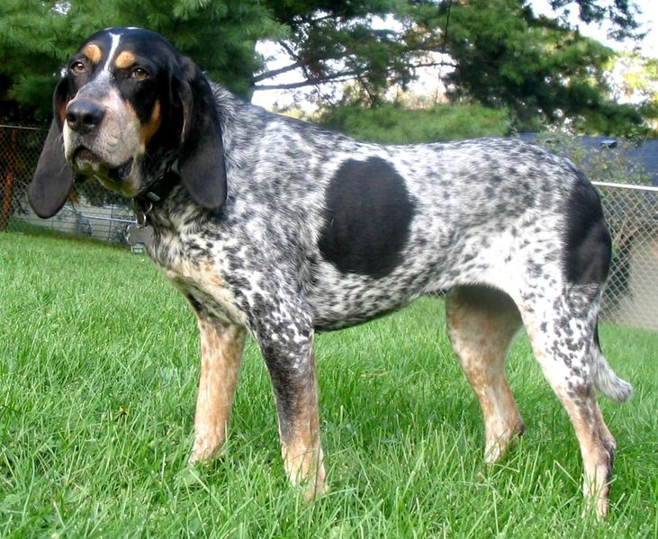 BluetickCoonhound wikimedia commons